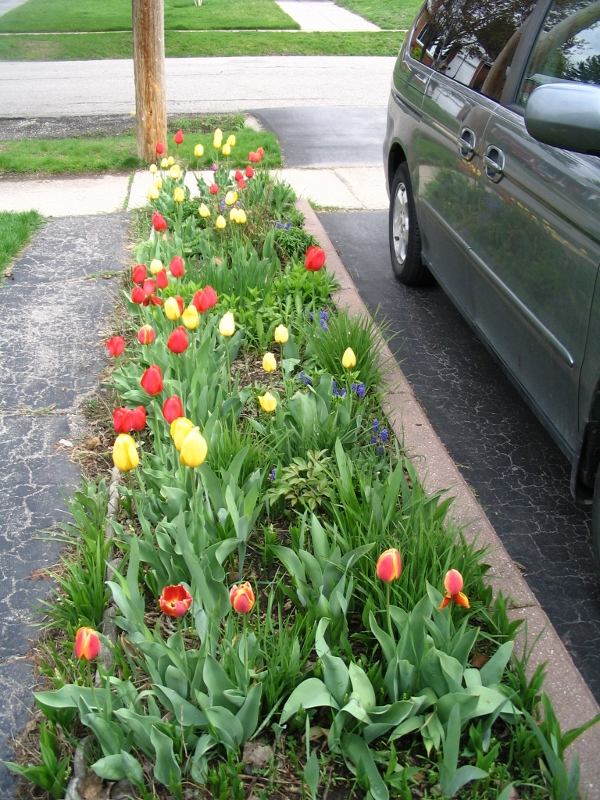 spring bulbs, tulips, garden