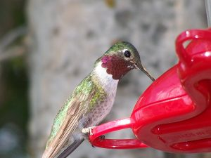 How to Make Those Hummingbirds  Come to You, Easily