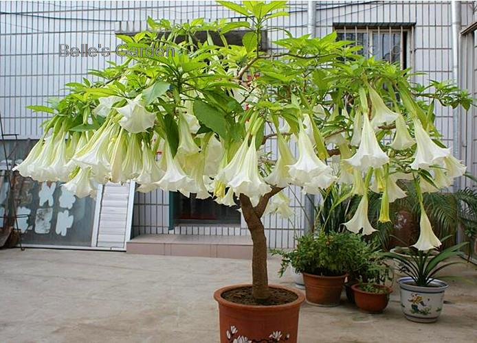 evening blooming brugmansia, moon garden plants, scented moon garden plants