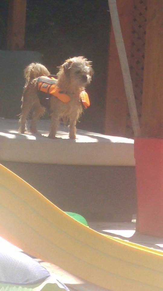 Tanookie in his life vest, small dog in life vest, summer safety for dogs