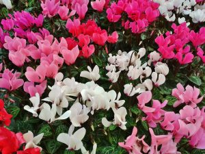 beautiful Christmas plants, cyclamen, great Christmas hostess gifts
