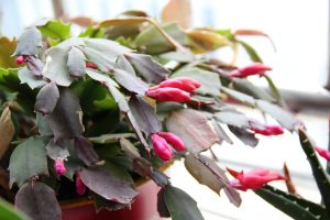 Christmas cactus, gifts for hostess, Christmas plants